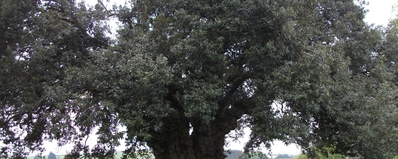 Holme Oak at Westbury Court Garden, Gloucestershire