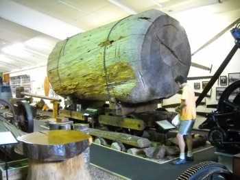 kauri museum - guy looking small beside a kauri tree chunk